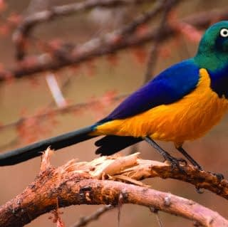 The beautiful superb starling bird of Kenya in