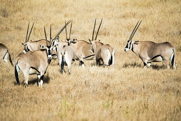 herds of beisa oryx at Samburu