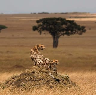 Cheetahs on an anthill at open plains of Maasai Mara