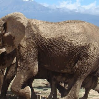 The Elephant of Amboseli with a backdrop of Mount Kilimanjaro