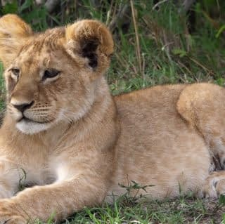 Cute Lion cub relaxing at Maasai Mara
