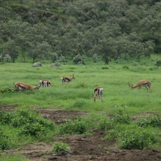 Antelope Grazing at Arusha National Park