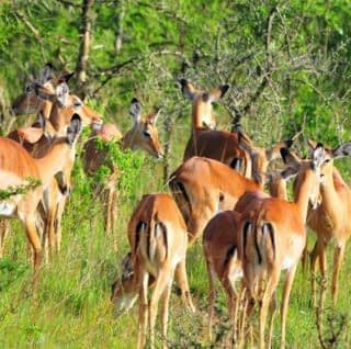 A group of Impalas at Lake Mburo National Park