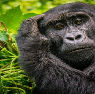 Staring Mountain Gorilla at Bwindi national Park