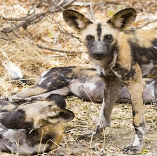 Afrrican Hunting Dog at Selous in Tanzania