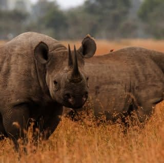Staring black rhino at Ol pejeta Conservancy