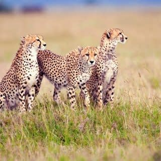 Cheetah family on an anthill at the open plain of serengeti