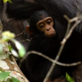 A baby Chimpanzee being embraced by mom at Mahale Mountains national Park