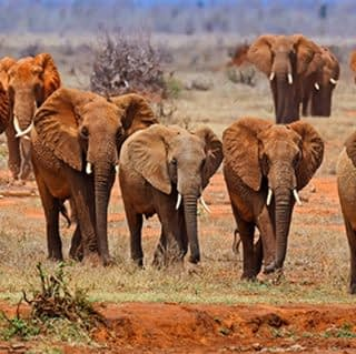 Strolling red elephants at Tsavo National Park