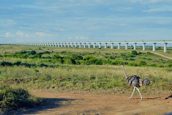 Ostrich walking in the wild with the standard gauge railway in the background