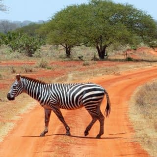 Strolling Zebra at Tsavo National Park