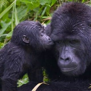 Gorilla and her Cub at Bwindi