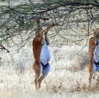grazing rare gerenuk antelope at samburu