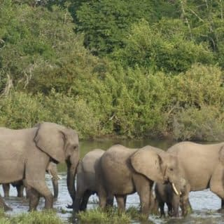 Herds of Elephant strolling at Selous Game Reserve