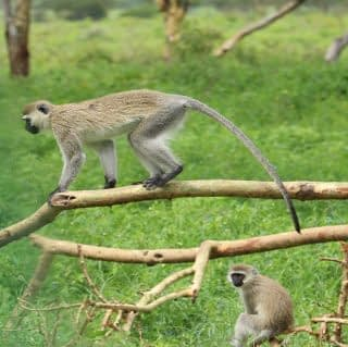 vervet monkey on tree stem at Lake Naivasha