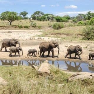 Herds of Elephant at Tarangire National Park