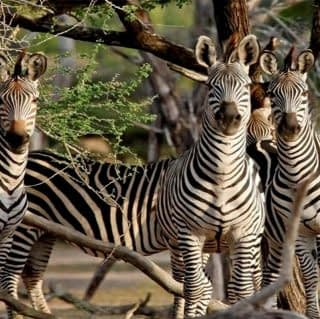 Staring Zebras at Ruaha National Park