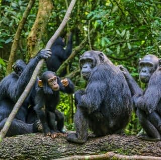 Chimpanzees in their posing styles at Kibale National Park