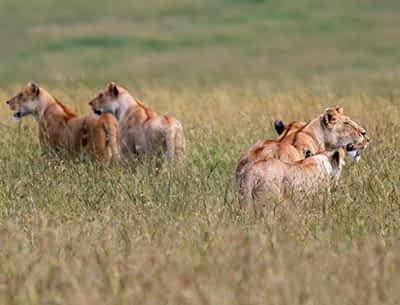 Lion at Masai Mara
